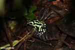 Green-and-black poison dart frog [costa_rica_la_selva_1801]
