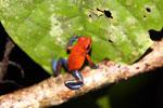 Strawberry poison-dart frog (Oophaga pumilio) [costa_rica_la_selva_1804]