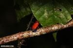 Strawberry poison-dart frog (Oophaga pumilio) [costa_rica_la_selva_1810]