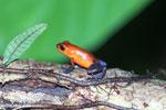 Strawberry poison-dart frog (Oophaga pumilio) [costa_rica_la_selva_1813]