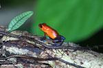 Strawberry poison-dart frog (Oophaga pumilio) [costa_rica_la_selva_1814]