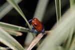Strawberry poison-dart frog (Oophaga pumilio) [costa_rica_la_selva_1822]