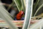 Strawberry poison-dart frog (Oophaga pumilio) [costa_rica_la_selva_1824]