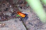 Strawberry poison-dart frog (Oophaga pumilio) [costa_rica_la_selva_1829]