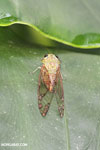 Cicada [costa_rica_la_selva_1831]