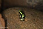 Juvenile green-and-black poison dart frog [costa_rica_la_selva_1835]