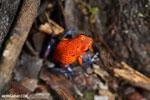 Strawberry poison-dart frog (Oophaga pumilio) [costa_rica_la_selva_1860]