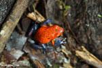 Strawberry poison-dart frog (Oophaga pumilio) [costa_rica_la_selva_1861]