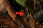 Strawberry poison-dart frog (Oophaga pumilio) [costa_rica_la_selva_1865]