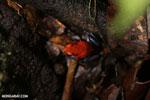 Strawberry poison-dart frog (Oophaga pumilio) [costa_rica_la_selva_1867]