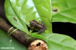 Frog [costa_rica_la_selva_1869]
