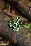 Green-and-black poison dart frog [costa_rica_la_selva_1871]
