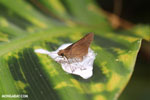 Butterfly feeding on bird excrement