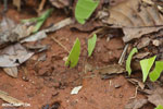 Leaf-cutter ants [costa_rica_osa_0130]