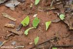 Leaf-cutter ants [costa_rica_osa_0133]