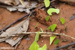 Leaf-cutter ants [costa_rica_osa_0136]