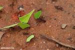 Leaf-cutter ants [costa_rica_osa_0137]
