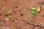 Leaf-cutter ants [costa_rica_osa_0138]