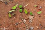 Leaf-cutter ants [costa_rica_osa_0139]