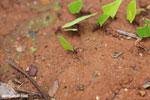 Leaf-cutter ants [costa_rica_osa_0140]