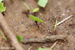 Leaf-cutter ants [costa_rica_osa_0141]