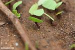 Leaf-cutter ants [costa_rica_osa_0142]
