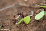 Leaf-cutter ants [costa_rica_osa_0143]