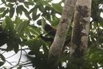 Spider monkey [costa_rica_osa_0186]