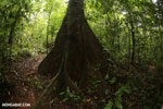 Rainforest canopy tree
