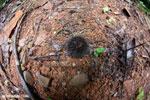 Seed pod [costa_rica_osa_0238]