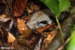 Boa constrictor in Costa Rica [costa_rica_osa_0262]