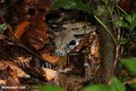 Boa constrictor in Costa Rica [costa_rica_osa_0263]