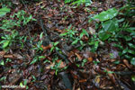 Boa constrictor hidden among leaves on the forest floor in Costa Rica