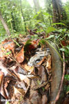 Boa constrictor camouflaged among leaves on the forest floor [costa_rica_osa_0281]