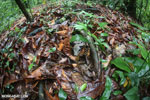 Boa constrictor camouflaged among leaves on the forest floor [costa_rica_osa_0285]