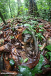 Boa constrictor hidden among leaves on the forest floor in Costa Rica [costa_rica_osa_0286]