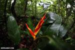 Red heliconia [costa_rica_osa_0306]