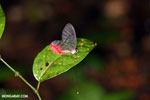 Butterfly with clear wings in Costa Rica (Greta oto)