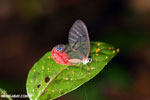 Transparent-winged butterfly in Costa Rica