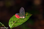Butterfly with pink and transparent wings in Costa Rica