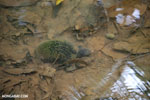 Freshwater turtle in Costa Rica