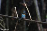 Male green kingfisher [costa_rica_osa_0335]