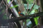 Male green kingfisher [costa_rica_osa_0341]
