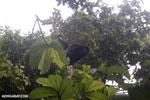 Mantled Howler Monkey [costa_rica_osa_0361]