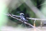 Female green kingfisher [costa_rica_osa_0430]