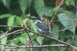 Female green kingfisher [costa_rica_osa_0436]