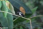 Female green kingfisher [costa_rica_osa_0442]