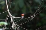 Male green kingfisher [costa_rica_osa_0448]