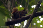 Squirrel [costa_rica_osa_0464]