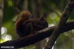Squirrel [costa_rica_osa_0467]